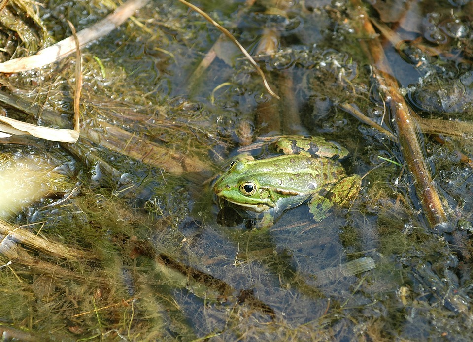 Free photo Frog Pond With Frogs Garden Pond Free Image on