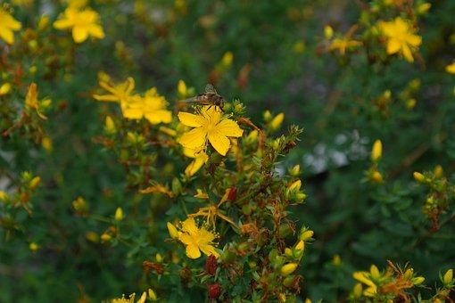 Echtes Johanniskraut, Blume, Blüte, Gelb
