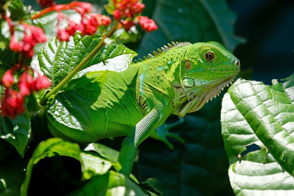 伊瓜纳, 爬行动物, 动物, 蜥蜴, 绿色, 自然