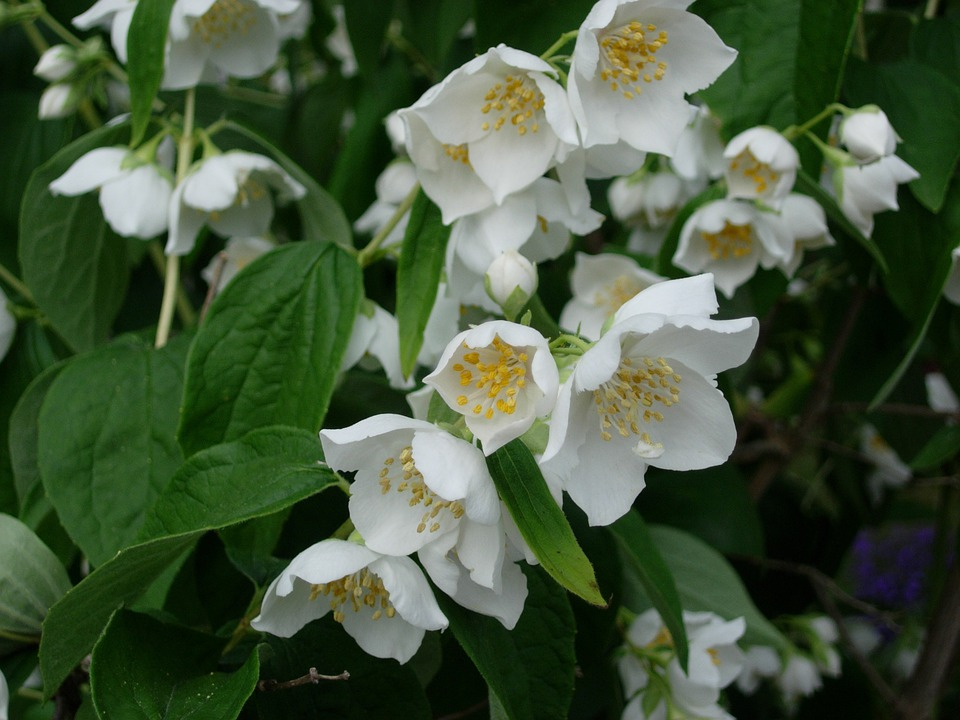 photo gratuite jasmin bush fleur blanc image gratuite sur pixabay 223232. Black Bedroom Furniture Sets. Home Design Ideas