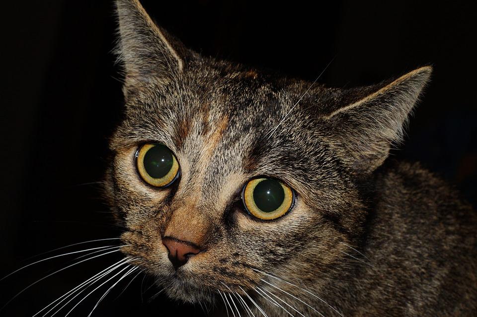 katt med stora ögon