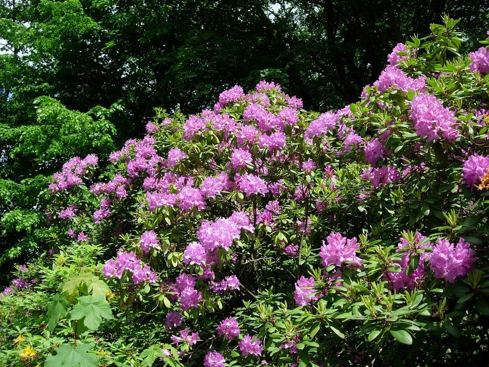 purple rhododendron bush images. Black Bedroom Furniture Sets. Home Design Ideas