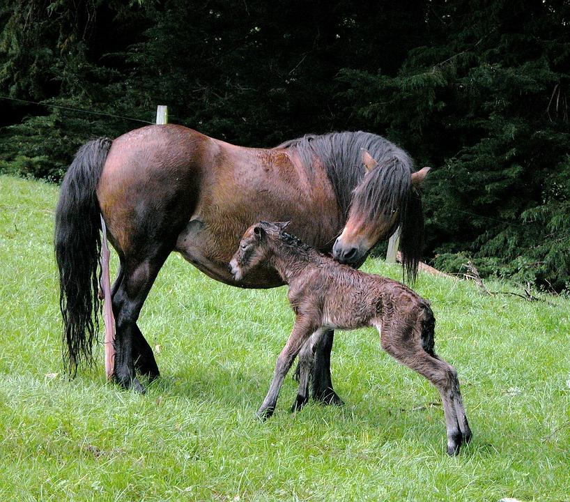 Dartmoor Foal, Foal, Horse, Newborn, Mare, Infant Foal