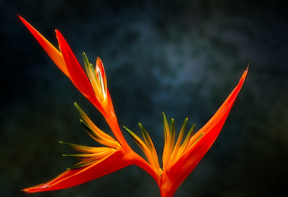 Free Photo Bird Of Paradise Flower Free Image On