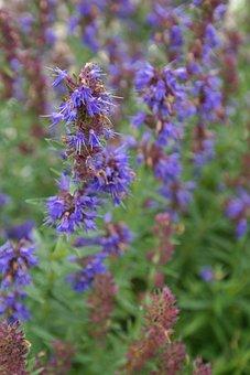 Hysope, Plantes, Fleur, Bleu