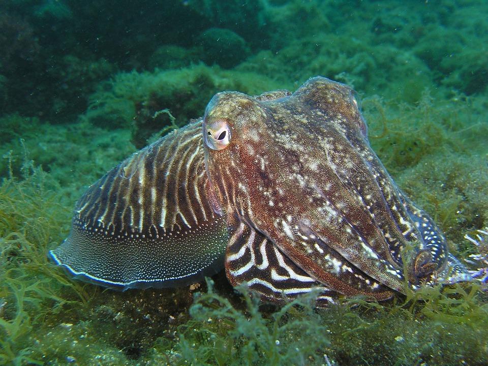 Squid, Octopus, Underwater, Animal, Sepia, Diving