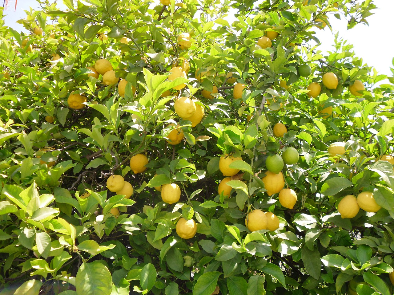 Дерево с лимонами картинки, днем