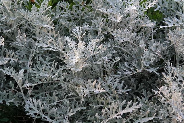 Free photo white fuzzy groundsel plant free image on for Planta ornamental blanca nieves