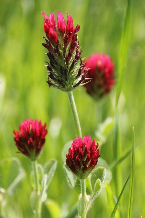 Fleur Trefle Rouge Photo Gratuite Sur Pixabay