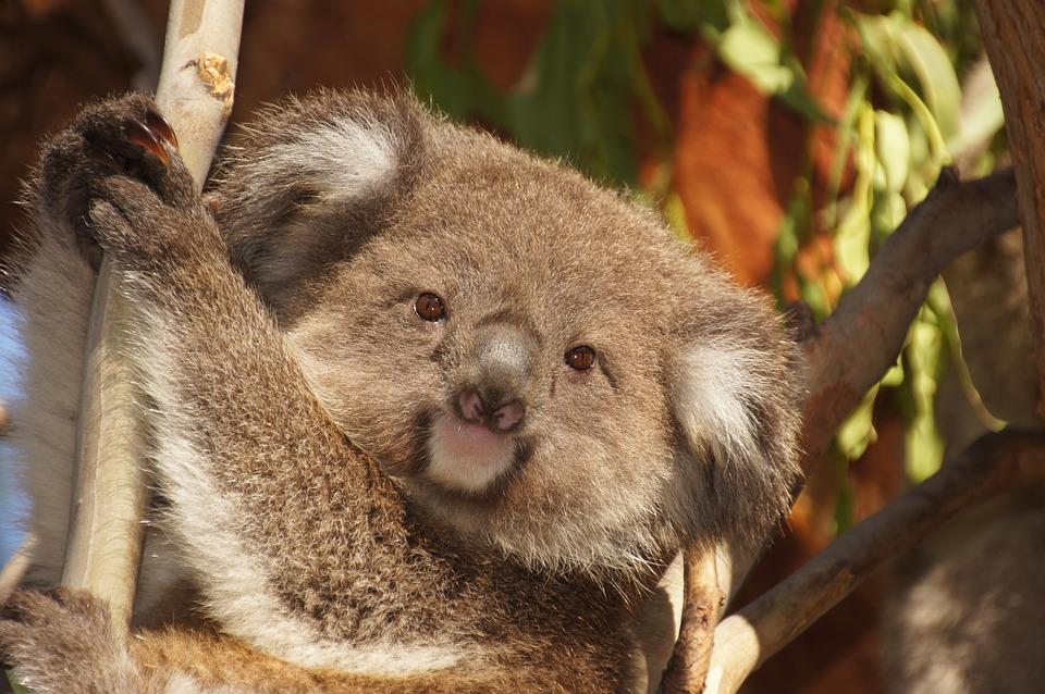 Kangaroo cute