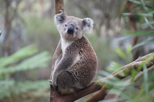 Koala Australia Koala Bear Lazy Rest Anima