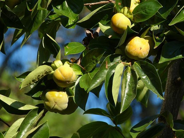 kostenloses foto kaki obst kakibaum frucht kostenloses bild auf pixabay 227800. Black Bedroom Furniture Sets. Home Design Ideas