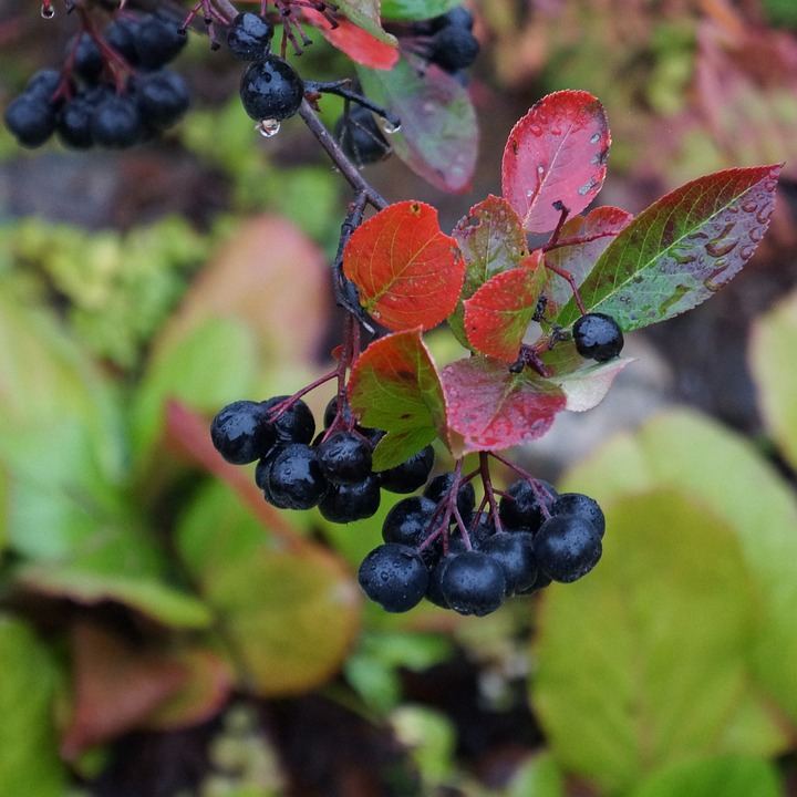 Aronia, Aronia Berries Are, Black Berries, Ripe Berries