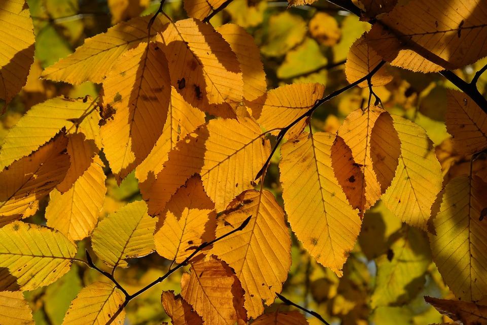 avnbøg træ