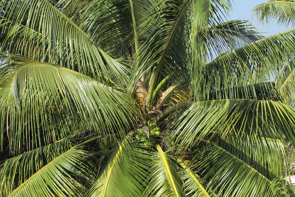 Free photo: Coconut Tree, Palm, Palm Tree - Free Image on ...