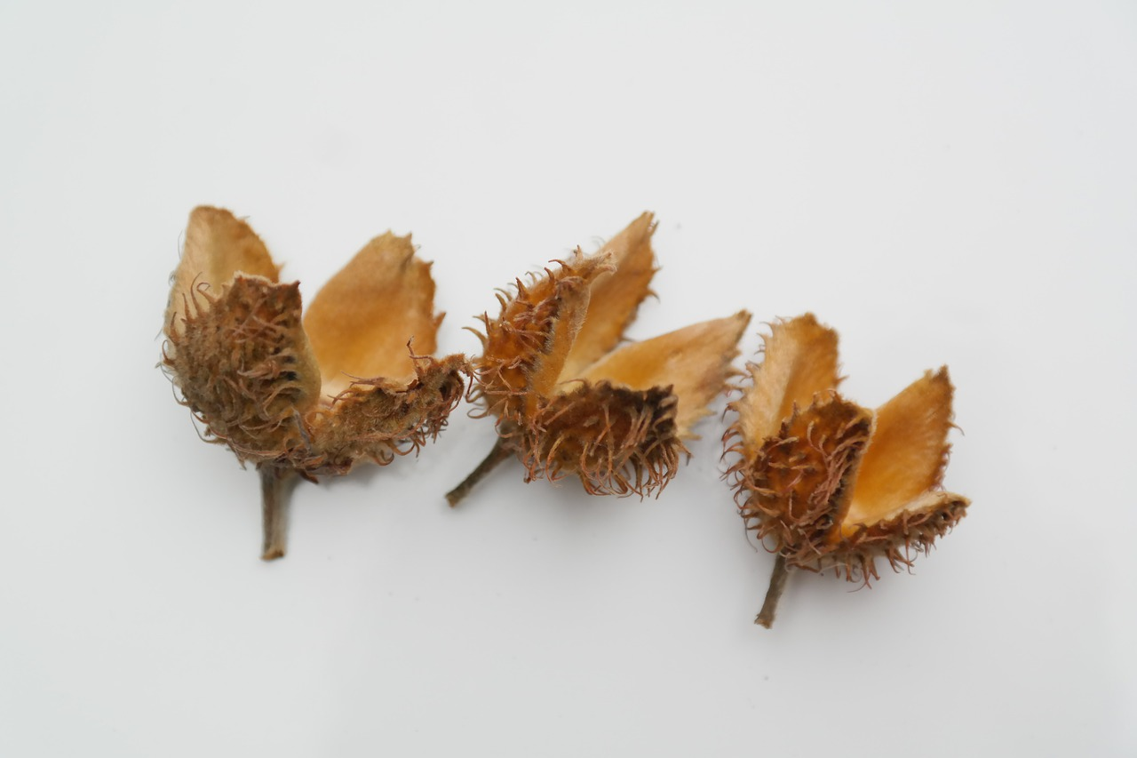 Collecting and Using Wild Nuts - Food-Skills-For-Self Pictures of beech nuts