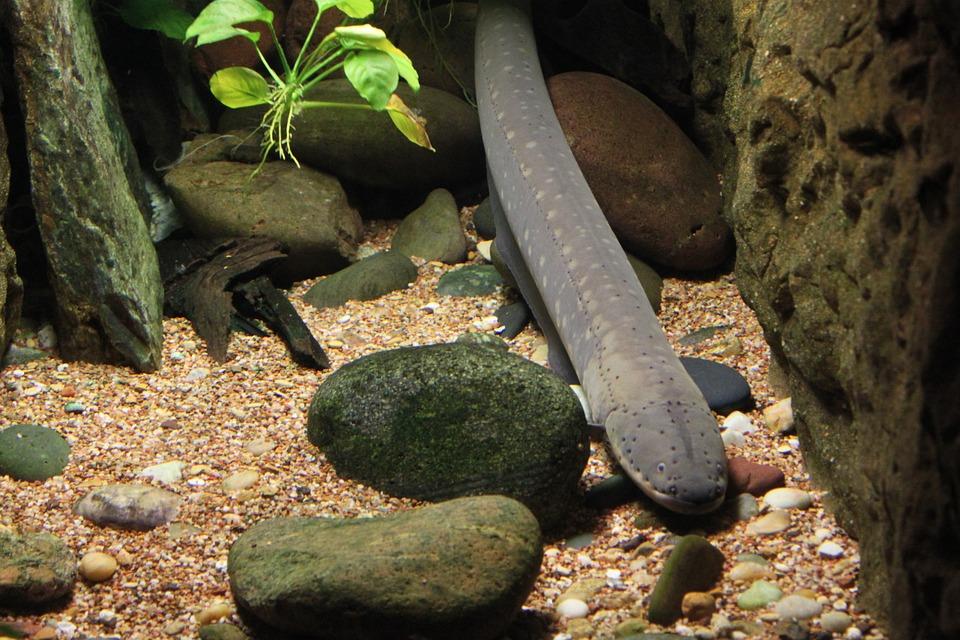 Eel, Fish, Underwater, Aquarium, Tropical, Marine