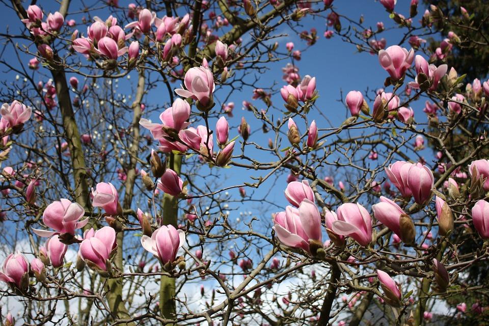 Boom Met Bloemen.Magnolia Bloemen Plant Gratis Foto Op Pixabay