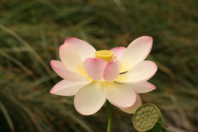 photo gratuite fleur de lotus n nuphar fleur image gratuite sur pixabay 231507. Black Bedroom Furniture Sets. Home Design Ideas