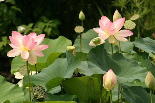 Lotus flower images pixabay download free pictures lotus flowers water lilies flower aquatic mightylinksfo