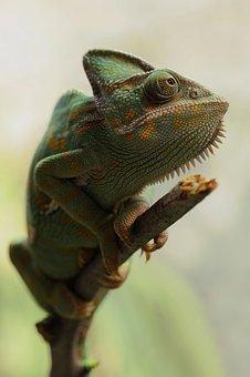 Yemen Chameleon, Chamaeleo Calyptratus