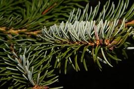 Sapin, Tannenzweig, Le Temps De Noël