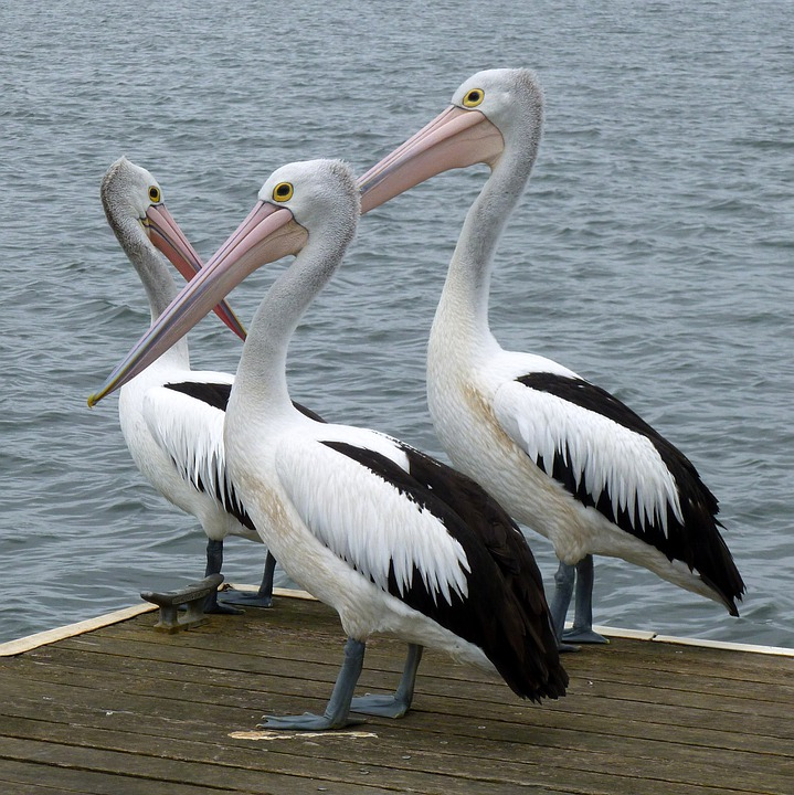Foto gratis pel canos pel cano australiano imagen - Fotos de pelicanos ...