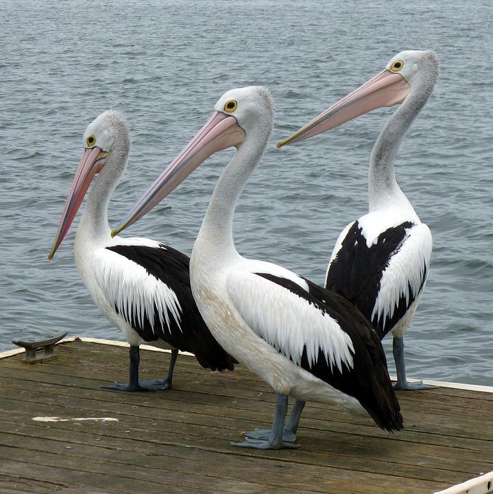 Pel canos pel cano aves de agua foto gratis en pixabay - Fotos de pelicanos ...