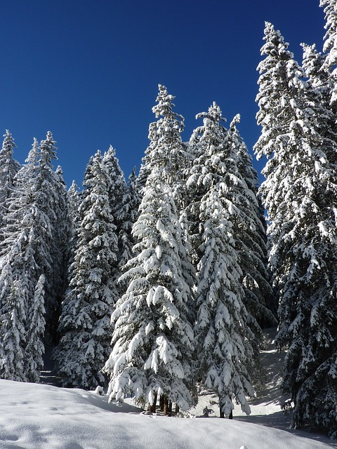 snowy fir trees forest - photo #23