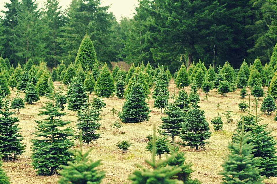 christmas trees xmas farm seasons holidays - Christmas Tree Nursery