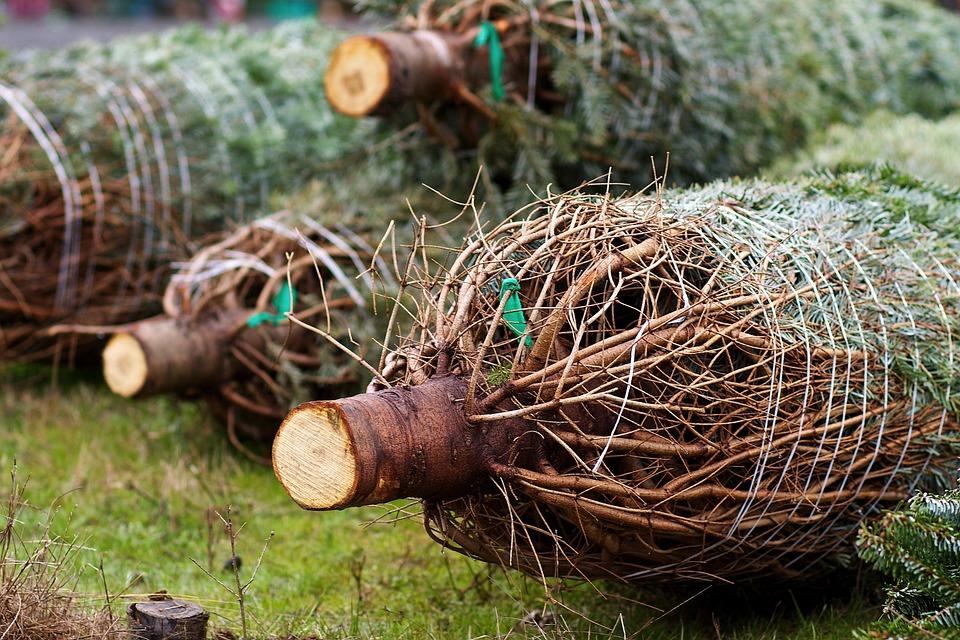 christmas-trees-235367_960_720.jpg