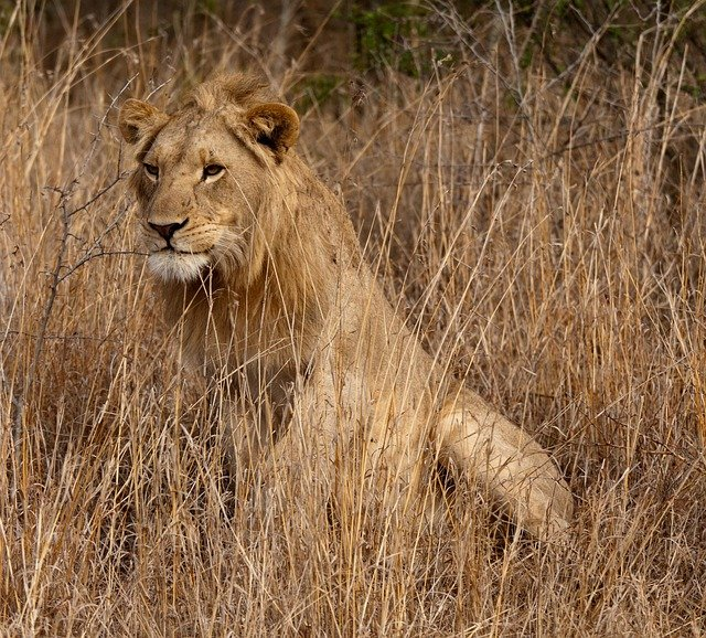 Free Photo Lion South Africa Savannah Free Image On
