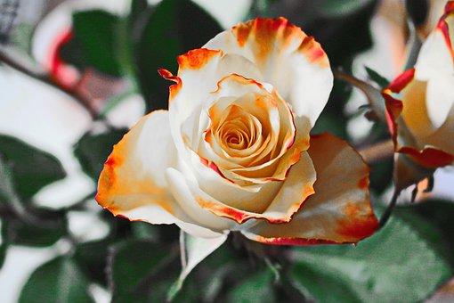 Роза, Желтая, Цветок, Лепестки, Цветение