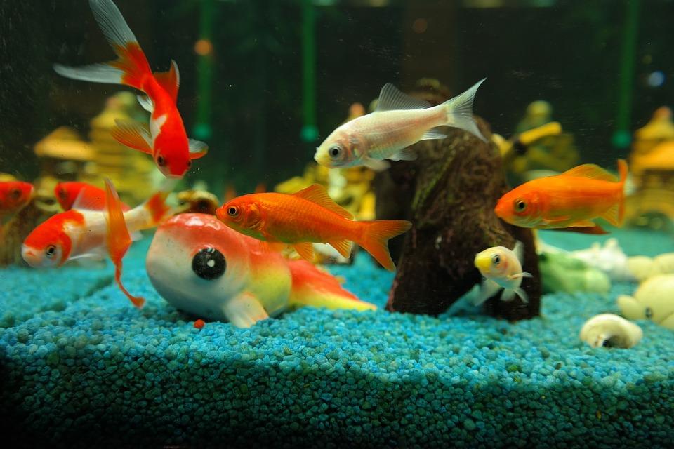 Free photo: Fish, Goldfish, Freshwater Fish