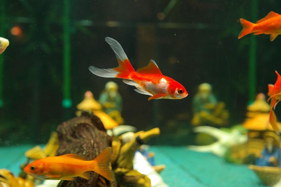 Foto gratis peces peces de colores imagen gratis en for Peces agua dulce
