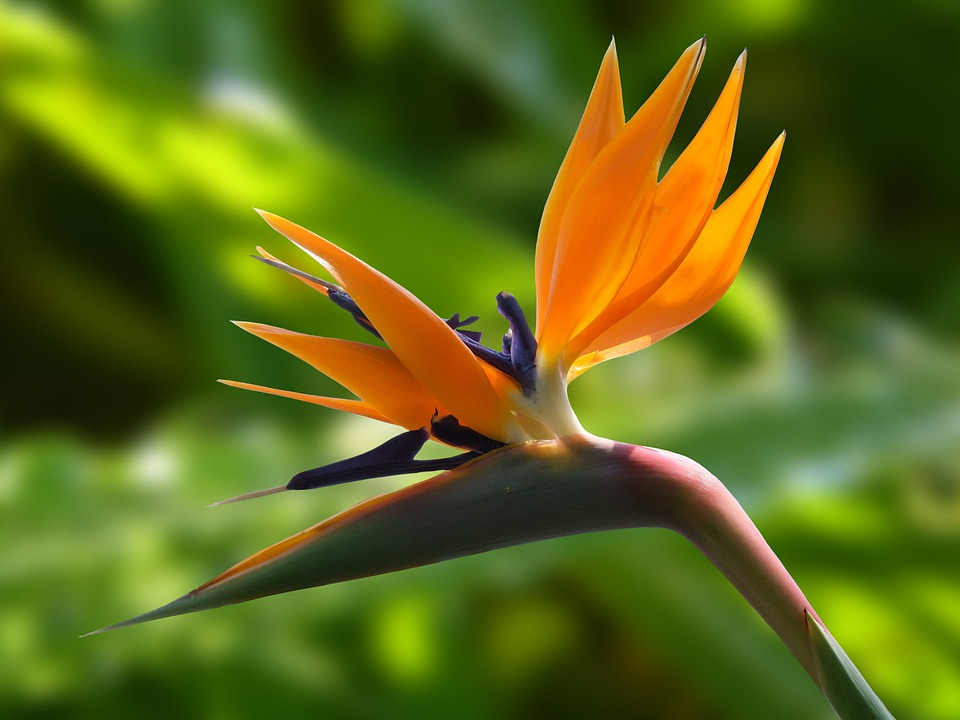 花, 鳥の楽園, 庭, 花鶴, ストレチア, ストレリチア, ブルーム, 開花植物, 観賞用植物, 植物