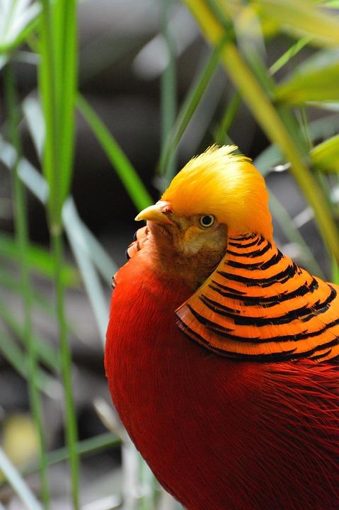 Golden Pheasant Eksotis Burung Foto Gratis Di Pixabay