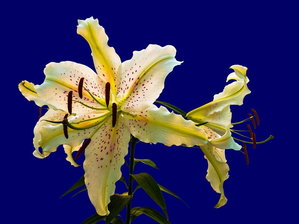 Unduh 62+ Gambar Bunga Bakung Ungu Paling Cantik