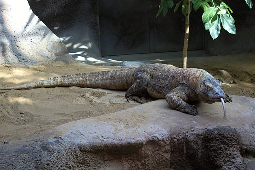 Komodo Dragon, Lizard, Reptile, Iguana