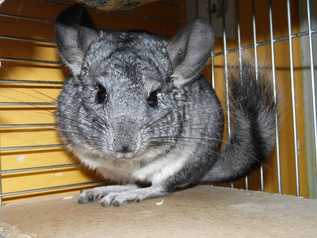 Chinchillas, Short Tailed Chinchilla