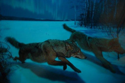 Wolf, Nacht, Mond, Heulen, Raubtier