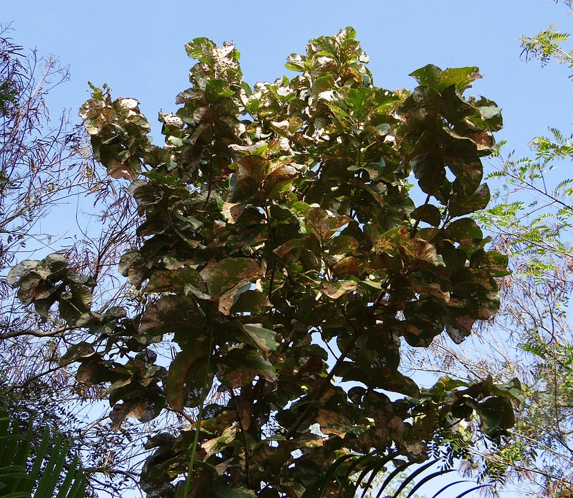 Teakbaum  Tectona Grandis Teak Baum · Kostenloses Foto auf Pixabay
