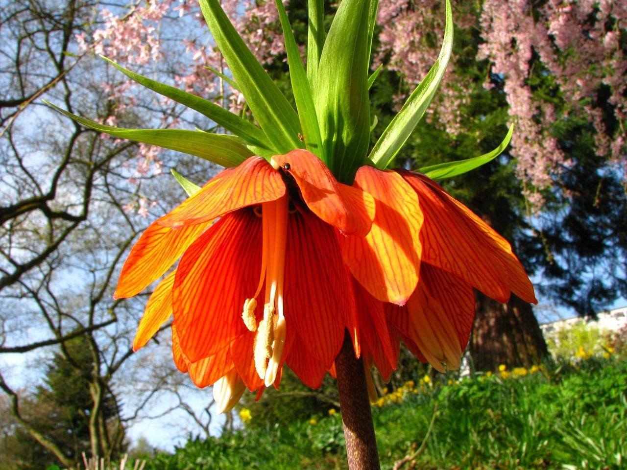 цветы царская корона фото руководство для приготовления