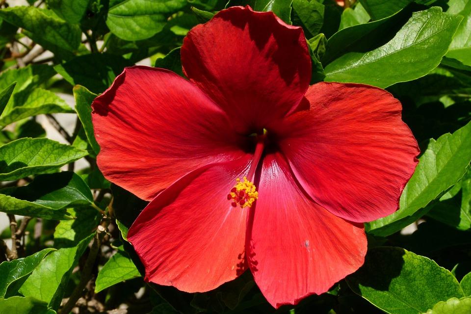 Foto gratis ibisco fiore rosso chiudi immagine for Ibisco rosso