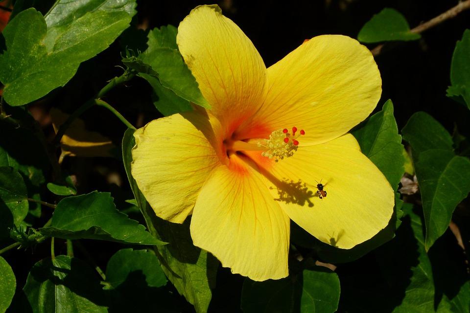 Download 67 Gambar Bunga Sepatu Yang Lengkap Paling Cantik