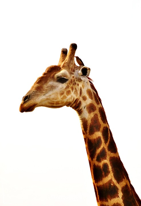 Free photo: Giraffe, Giraffe Neck, Animal - Free Image on