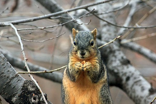 Squirrel, Rodent, Wildlife, Eating, Nut