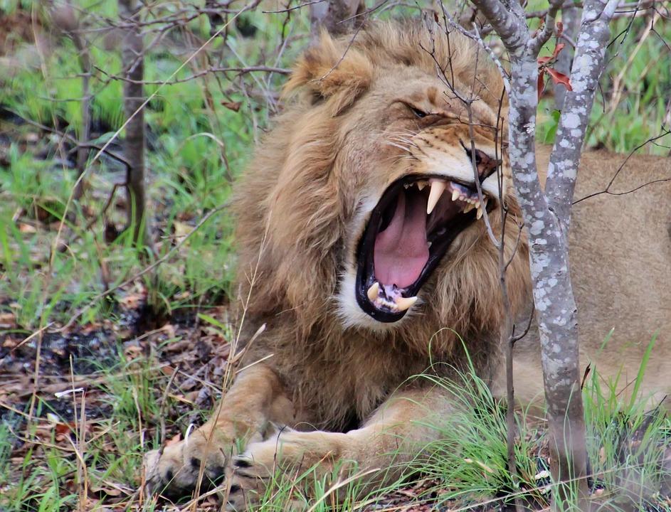 Bien connu Photo gratuite: Lion, Jeune Lion, Animaux Sauvages - Image  OQ77
