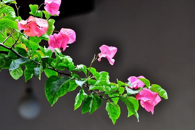 Free Photo Bougainvillea Flowers Free Image On Pixabay 241690
