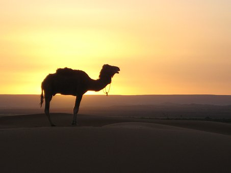 Desert Camel Morocco Camel Camel Camel Cam